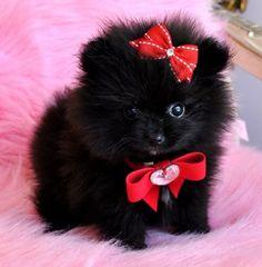 Tiny Teacup Black Pomeranian Princes