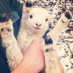 adorable baby lamb - 2 days old