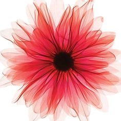 Red-X-Ray-Gerbera-Canvas-Print-50B065FRSP.jpg ❤ liked on Polyvore featuring flowers, backgrounds and filler