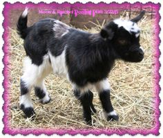 Whispering Acres Fainting Myotonic Goats - 2015 Sold/Retained Kids