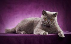 Download wallpapers British shorthair cat, gray cat, pet cat, pets, photo shoot