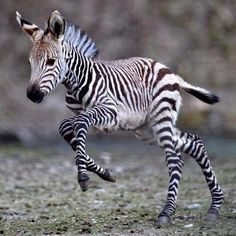 I want a baby zebra. I want a baby zebra. I want a baby zebra. Cute Creatures, Beautiful Creatures, Animals Beautiful, Cute Baby Animals, Animals And Pets, Funny Animals, Wild Animals, Savanna Animals, Baby Taube