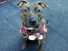 SAFE 04/12/15 by Potter's Angel Rescue --- Manhattan Center   BLACK CANARY - A1031626  FEMALE, BR BRINDLE / WHITE, AMERICAN STAFF MIX, 2 yrs STRAY - STRAY WAIT, NO HOLD Reason STRAY Intake condition EXAM REQ Intake Date 03/29/2015  Main thread: https://www.facebook.com/photo.php?fbid=986493434696869