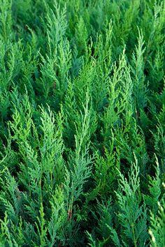 Cedro, Verde, Coníferas, Árvores, Plantas