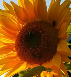Flower and bees Sunflowers, Bees, Dandelion, Plants, Wood Bees, Dandelions, Flora, Plant, Sunflower Seeds