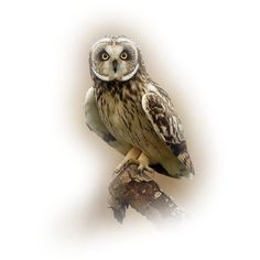 MKM_2013_DEC_SERIES_OWLS-1_T3.png ❤ liked on Polyvore featuring birds, animals, owls, fillers and vogels