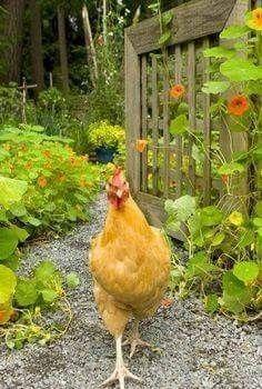 Free Range Chicken is a Happy Hen Chicken Garden, Hen Chicken, Chicken Coops, Chicken Animal, Chicken Humor, Chicken Breeds, Garden Gate, Vegetable Garden, Beautiful Chickens