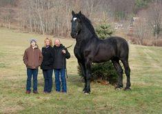 caballo percherón supremo en color negro 1.93 metros