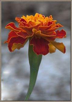 """Here is a marigold to add a ray of sunshine to your day and a pop of color to your life. May your days be brighter than a field of marigolds."""