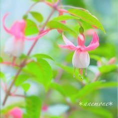 #フクシア#Fuchsia#flower