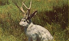 The legend of the Jack-a-lope, half Whitetail deer and half Jack-Rabbit. Only in Texas !!!!