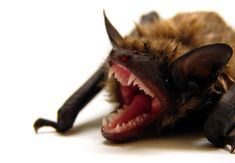 #NEWS #SWD #GREEN2STAY The mysterious disease is obliterating bat colonies as it spreads across North America, and scientists say time is running out to save them.
