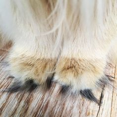 'Look at my Tiny Fluffy Toes' - Cute Fluffy Smoothie the Cat