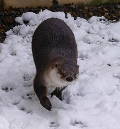Watch out, human: Otter's making a snowball - December 11, 2017