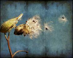 Habitat Feature: Milkweeds