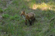 a fox at Birch Hollow