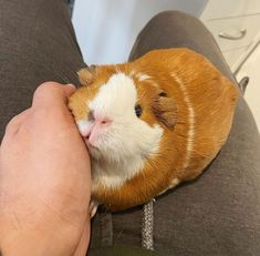 Pigs In A Blanket, Fall Pumpkins, Guinea Pigs, Happy Friday, Rabbit, Archive, Random, Animals, Rodents