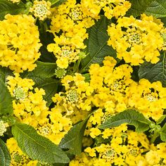 'Bananarama' Lantana (we're utterly charmed by the name), new  for your #garden in '15 from @provenwinners