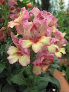 50 Snapdragon PEACHY DRAGON Live Plants Plugs Garden Home DIY Planters 422