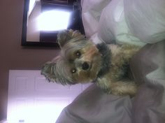 Lost Yorkie Male 9 Yrs Old But Looks Like A Pup Name Is Blue