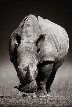 """ White Rhinoceros by JohanSwanepoel_00 "" Ceratotherium simum - Near Threatened"