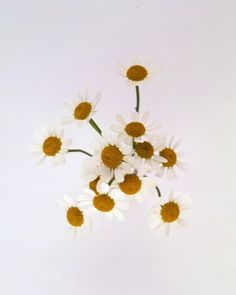 CHAMOMILE, Meaning: Energy in action