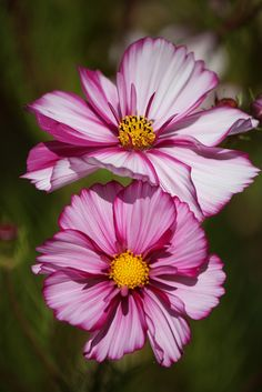 Painted Cosmos | Flickr - Photo Sharing!