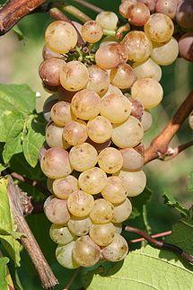 Auxerrois blanc - Vinthousiast, Rupelmonde (Kruibeke) - www.vinthousiast.be