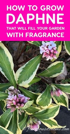 How To Grow A Daphne Plant That Will Fill Your Garden With Fragrance These tips on how to grow Daphne are the BEST! Now I know what to plant in the shade under the trees in my garden. I love that it is evergreen, fragrant and blooms in the winter! Garden Shrubs, Shade Garden, Garden Plants, Garden Landscaping, Landscaping Ideas, Privacy Landscaping, Tree Garden, Flowering Shrubs, Outdoor Plants