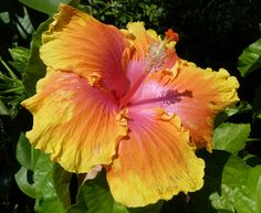 pictures of the path hibiscus | Tropical Hibiscus - The Path