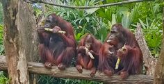 Apen matkat: Singapore. Indiana, Singapore, Animals, Animales, Animaux, Animal, Animais