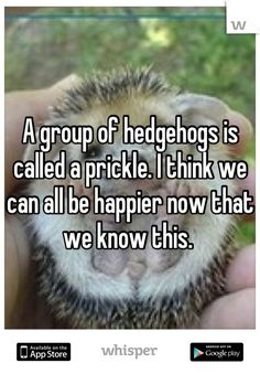 A group of hedgehogs is called a prickle.