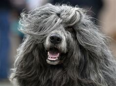 Portuguese Water Dog, Dog Show, Fashion Accessories, Lion Sculpture, Germany, Around The Worlds, Lol, Statue, Farrah Fawcett