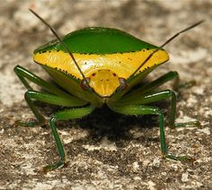 Pentatomid Shield Bug (Pentatomidae) by itchydogimages - 500 000 VIEWS!, via Flickr