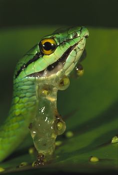 Parrot Snake (Leptophis ahaetulla) eating egg clutch of Red-eyed Tree Frog (Agalychnis callidryas)