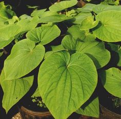 Kava Kava Piper Methysticum produces an euphoric state which is characterized by tranquility and friendliness. Kava wakes you up and at the same time, calms you down, helping to increase productivity and relieve stress. #Fiji #Culture #Tradition #Travel