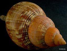 fasciolaria tulipa XL 187,5 mm ! in Sammeln & Seltenes, Mineralien & Fossilien, Muscheln & Schnecken | eBay!