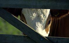 Cow photograph farm animals animal photography by Suzannasi