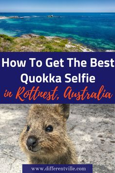 It took me three visits to Rottnest Island near Perth Australia to get my selfie with the supercute quokkas that live on the island - here's what I learned so you get yours the first time! Melbourne, Brisbane, Sydney, Tasmania Australia, Perth Western Australia, Australia Honeymoon, Australia Travel Guide, Australia Trip, Cairns