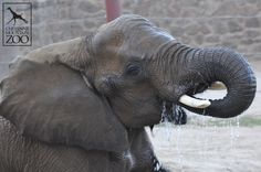Did you know that adult elephants can drink anywhere between 30 and 60 gallons of water a day?