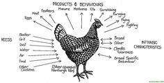 La cría orgánica de gallinas (primera parte) - Ecocosas