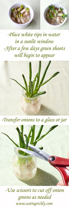 Grow green onions in water.  Easy method for regrowing green onions from your garden or the grocery store!  #eatingrichly
