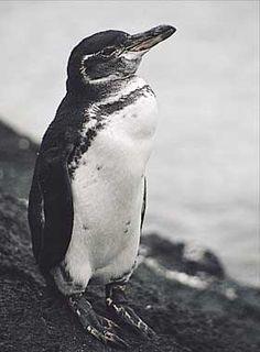 Galapagos Penguin. Endangered.