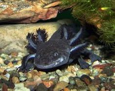"""Képtalálat a következőre: """"axolotl"""""""
