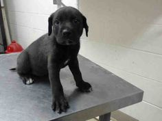 07/12/16-TIME'S UP!! SUPER URGENT!! This DOG - ID#A463148  I am a male, black Pit Bull Terrier and Labrador Retriever.  The shelter staff think I am about 10 weeks old.  I have been at the shelter since Jul 05, 2016.  This information was refreshed 31 minutes ago and may not represent all of the animals at the Harris County Public Health and Environmental Services.  https://www.facebook.com/harriscountyanimalshelterpetshouston/videos/1180065952057201/