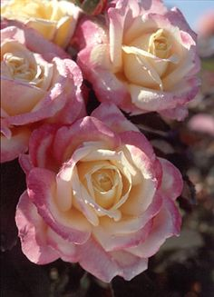 Bella Roma Rose