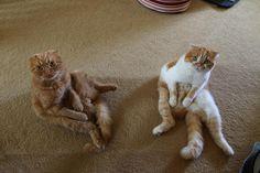 変な座り方の猫達 25|ねこLatte+