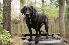 9-11 hero dogs - recently retired dogs who assisted with the search and rescue operation on 9-11