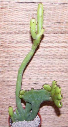 Euphorbia Oncoclada 'CRISTATA' 18cm! FLOWER IN ORIGINAL OWN ROOT rare succulent