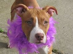 TO BE DESTROYED - 11/14/13 Brooklyn Center -P  My name is ROSE. My Animal ID # is A0984298. I am a female red and white pit bull mix. The shelter thinks I am about 6 MONTHS old.  I came in the shelter as a STRAY on 11/06/2013 from NY 10301, owner surrender reason stated was STRAY.  https://www.facebook.com/photo.php?fbid=704149709597911&set=a.611290788883804.1073741851.152876678058553&type=3&theater